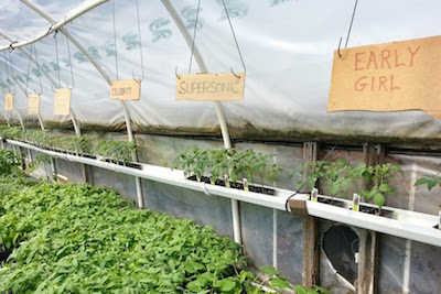 Henkel's Greenhouse with tomato varieties