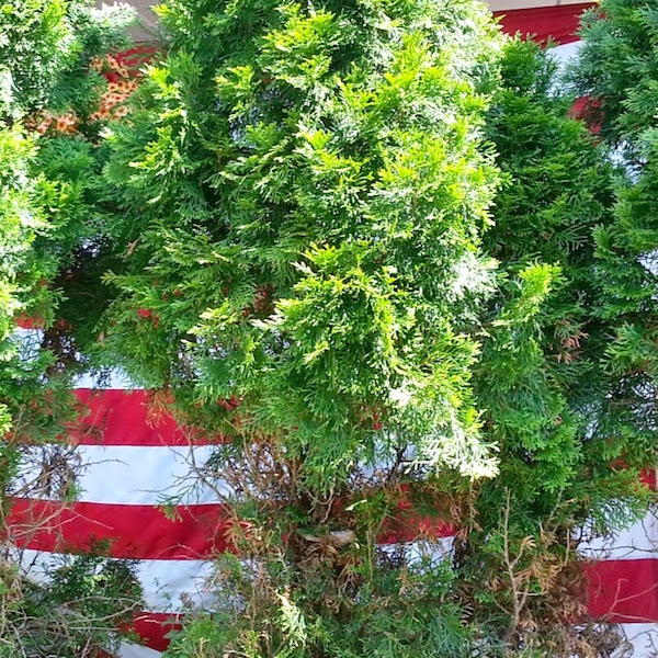 American flag behind cypress bushes