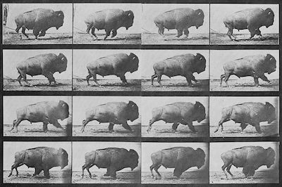 Sequence of a buffalo (American bison) galloping. Photos taken by Eadweard Muybridge (died 1904), first published in 1887 at Philadelphia (Animal Locomotion).