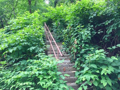 city steps nearly overgrown with knotweed, Pittsburgh, PA
