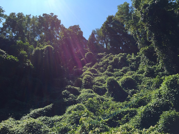 hillside and trees overgrown with knotweed, Pittsburgh, PA