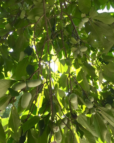 pawpaw fruit hanging in tree, Pittsburgh, PA