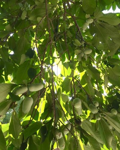 pawpaw fruit hanging in tree, Pittsburgh, PA