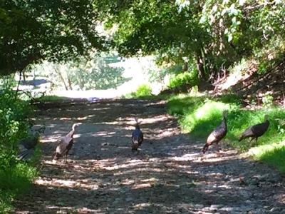 five wild turkeys crossing a gravel road, Pittsburgh, PA