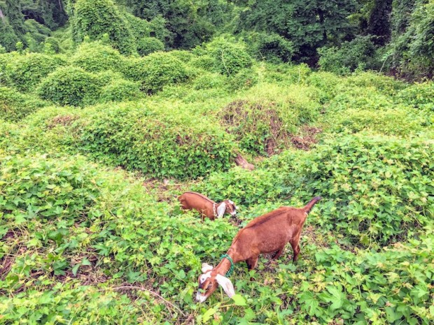 goats eating weeds