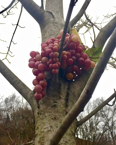 plastic grapes hanging from tree limb